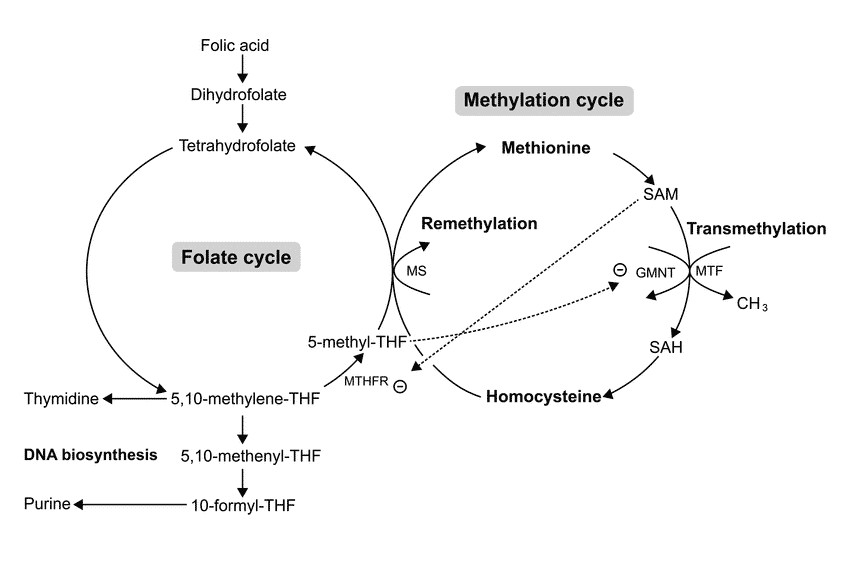 Methylation Cycle and Folate Cycle Relationship